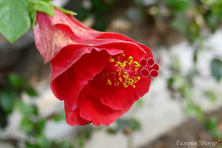 Китайская роза букет