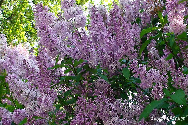 Галерея цветы цветущие кустарники